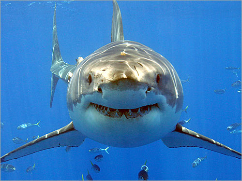 http://www.sadayeafghan.com/img/images/shark.jpg
